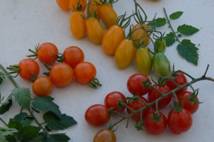Three delicious cherry tomatoes: Sungold, Apero and Golden Sweet