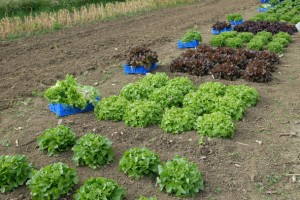 Harvesting letuces in the 2011 lettuce trial