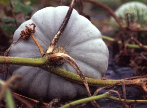 One of the best flavoured winter squashes var. Crown Prince