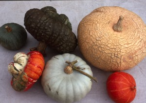 Still life image of winter squash belonging to the species C. maxima grown from seed at Sea Spring Seeds