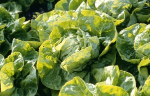 The lettuce variety 'Clarion' is a butterhead type.