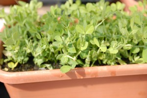 Pea shoots in their second regrowth