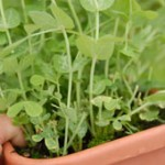 Pea shoots grown in a container