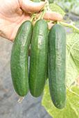 Cucumber var. Passandra