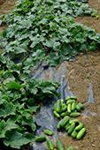 Outdoor cucumber trial
