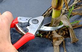 Secateurs cutting sweet corn