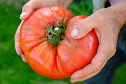 Ovi's Romanian Giant tomato