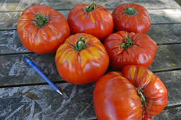 Ovi's Romanian Giant tomatoes