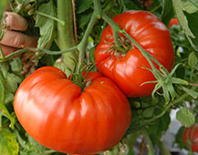 Two tomato fruit of Ovi's Romanian Giant heritage variety
