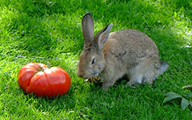 The giant rabbit was made to look small by a fruit of Ovi's Romanian Giant tomato