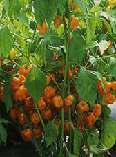 Chilli plant var. Orange Habanero is very high yielding.