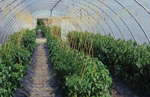 Chilli plants growing in a polytunnel.