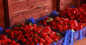 We sold Dorset Naga in retail packs and as a wholesale crop for shops and sauce makers.