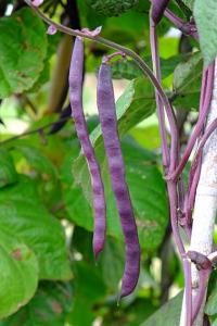 Climbing French Bean var. Cosse Violette