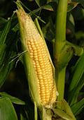 Sweet corn var. Earlibird