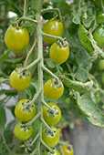 Tomato var. Green Envy