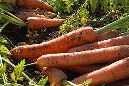 Carrot var. Nairobi