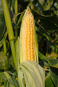Sweet corn var. Northern Extra Sweet