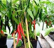 Unripe (green) and sweeter, ripe (red) chilli peppers.