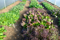 Oriental salads growing overwinter in a polytunnel.